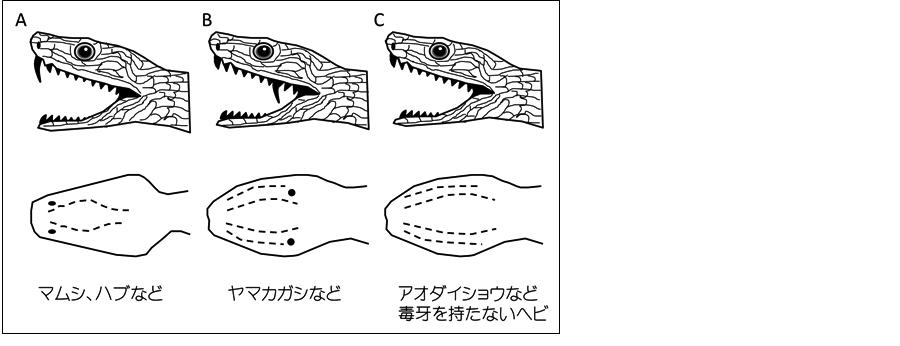 ヘビの種類による毒牙の有無と位置