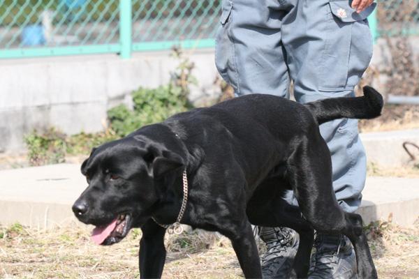 日本レスキュー協会 災害救助犬 J サーチ訓練 捜索訓練