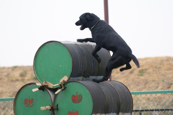 日本レスキュー協会 災害救助犬 レスキュードッグ J 訓練