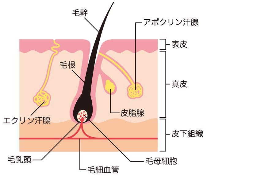皮膚の構造_エクリン汗腺_アポクリン汗腺