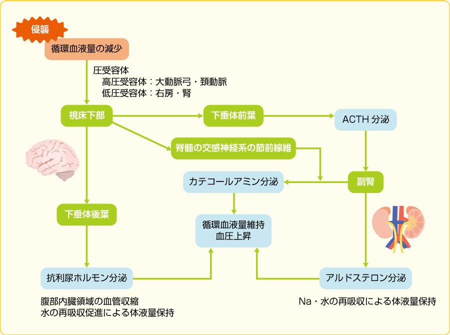 視床下部・下垂体系の反応
