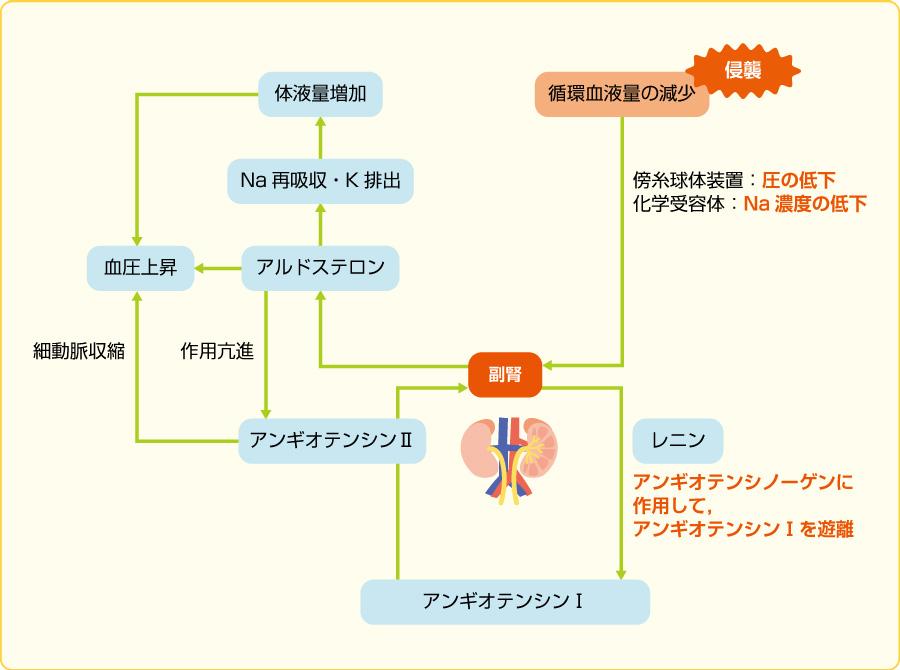腎・副腎皮質系の反応