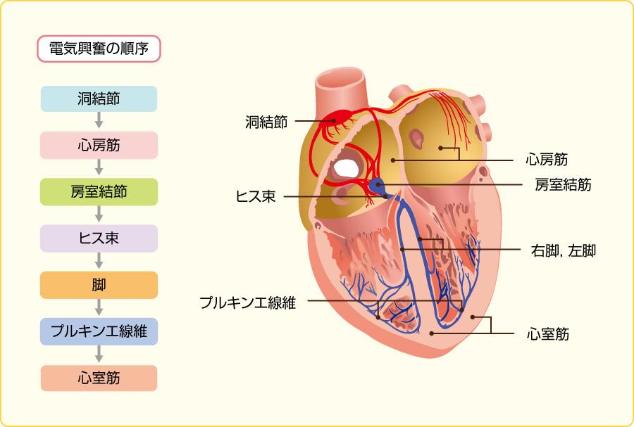 心臓の興奮順序と刺激伝導系
