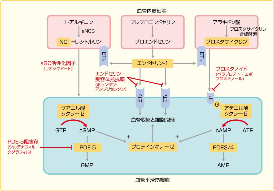 肺動脈収縮メカニズムの観点からみた血管拡張薬の作用機序