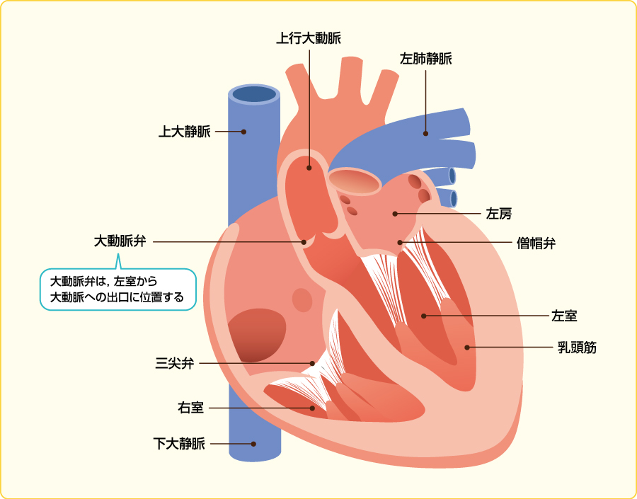 心臓の構造と大動脈弁の位置