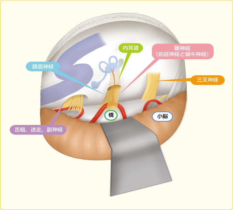 内耳道,小脳橋角部の解剖