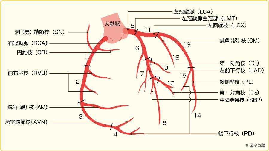 冠動脈の番号を覚えよう(AHA分類)