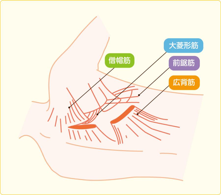 後側方切開における筋肉切開