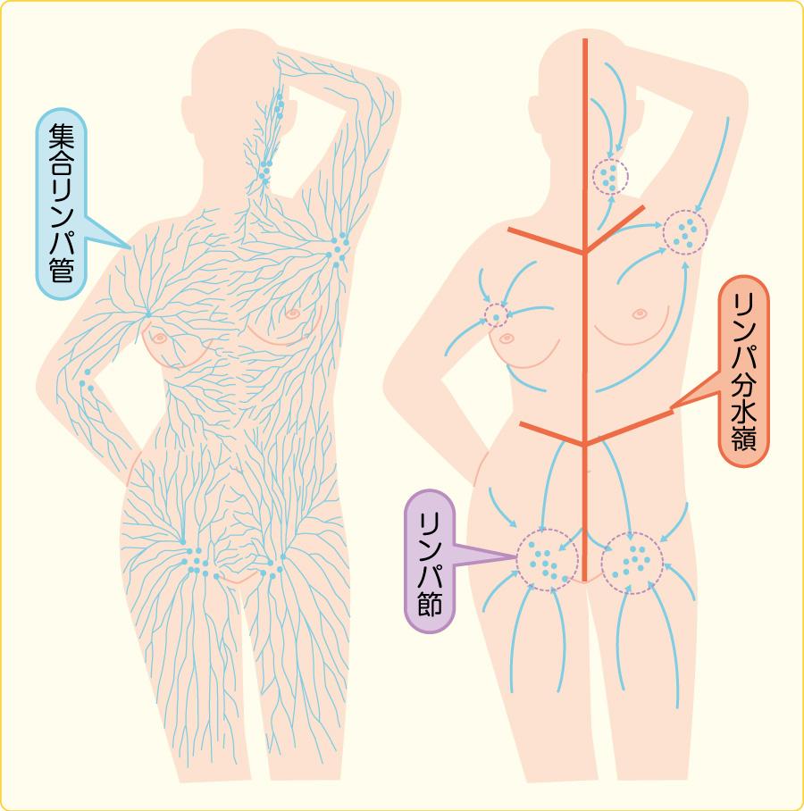 表在リンパ管と流入経路