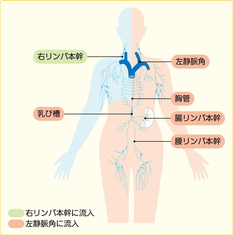 深部リンパ管