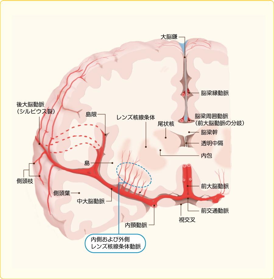 脳血管と穿通枝(文献2)より引用改変)