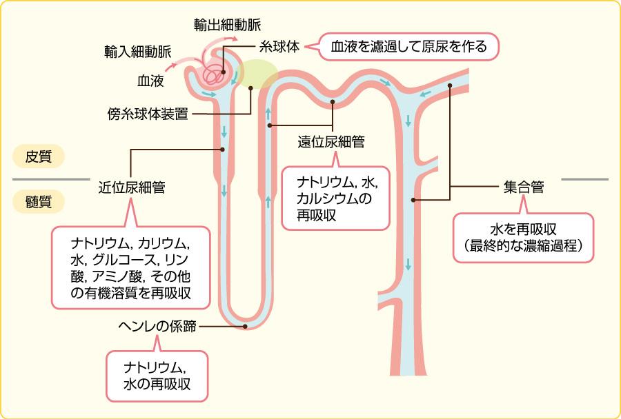 ネフロンの構造