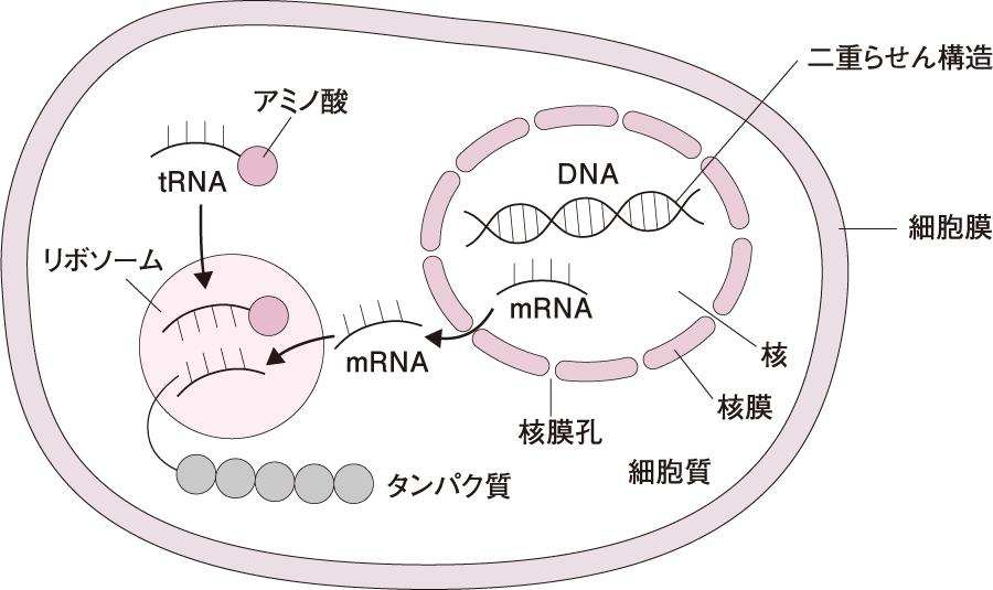 核の機能・タンパク質の合成|細胞の構造と機能(3)|看護roo ...