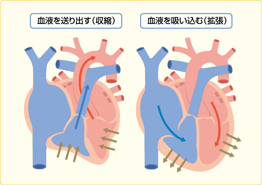 心臓の収縮(左)と拡張(右)
