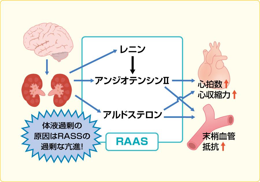 うっ血(体液過剰)が生じる機序(volume overload):体液性因子 (RAAS)の過剰な亢進が原因