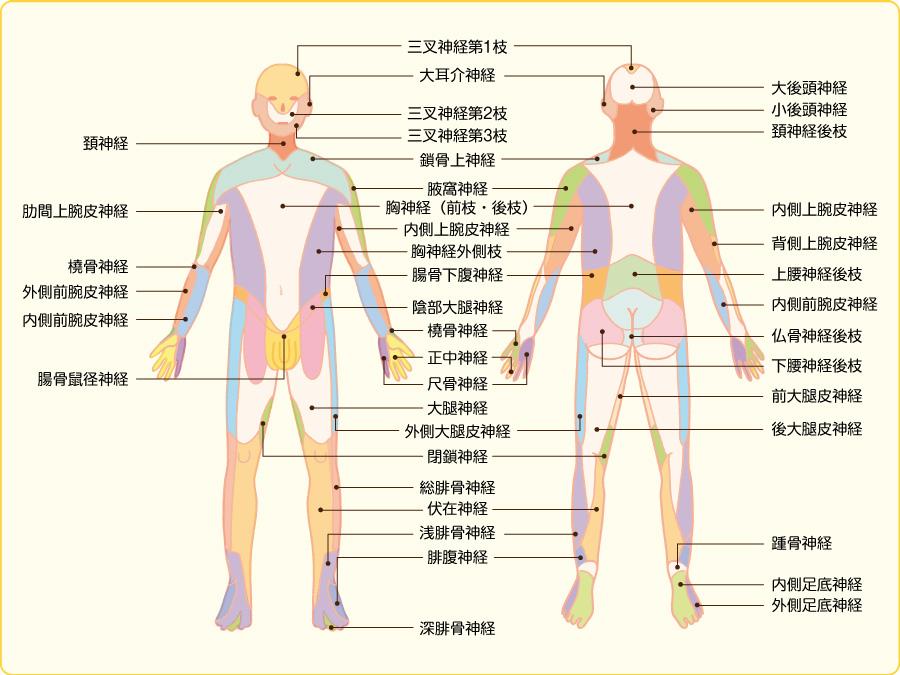 末梢神経の皮膚支配領域