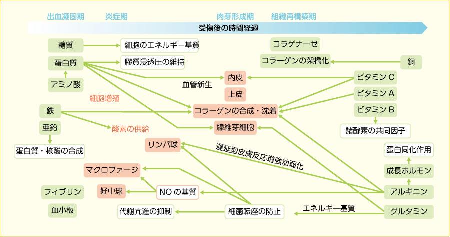 創傷治癒過程と各種栄養素の関与