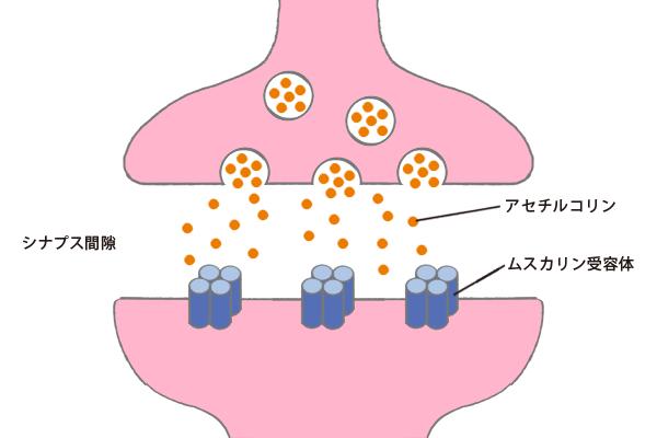 アセチルコリンがムスカリン受容体に結合するところを説明する図。
