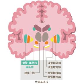 大脳基底核のイラスト