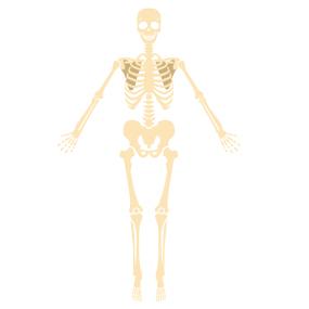 骨のイラスト