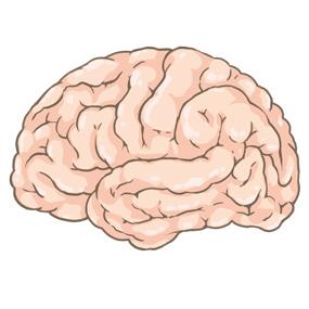 大脳のイラスト