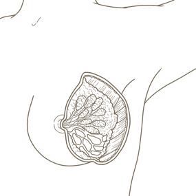 乳房のイラスト ※着色なし