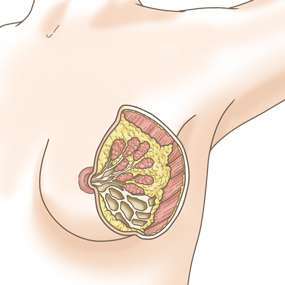 乳房のイラスト ※着色あり