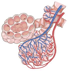 気管支と肺胞と毛細血管 のイラスト※着色あり