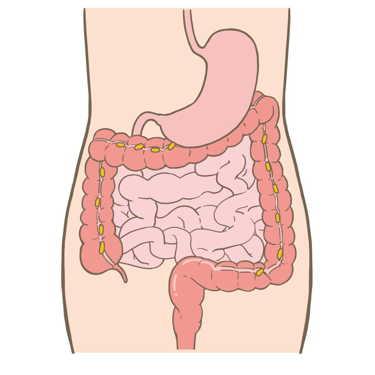 「小腸 フリー素材」の画像検索結果
