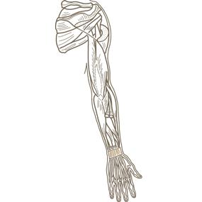 上肢全体(後面からみた深部)の筋肉のイラスト※着色なし