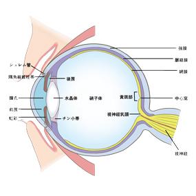 眼球の解剖図のイラスト
