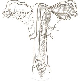 女性の内生殖器と外生殖器のイラスト※着色なし