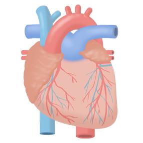 心臓の解剖イラスト