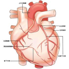 冠動脈の分布のイラスト