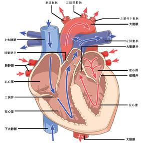 心臓内部のイラスト