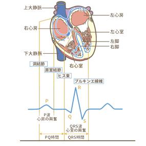 心臓の刺激伝達系と心電図のイラスト