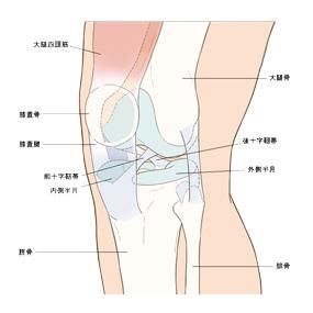 膝のイラスト