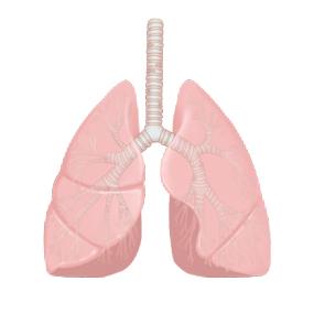 気管・気管支と肺のイラスト