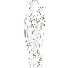 大腿の内転筋群のイラスト ※着色なし