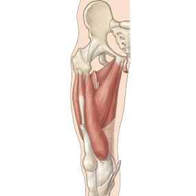 大腿の内転筋群のイラスト ※着色あり