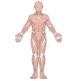 筋肉のイラスト