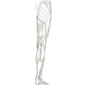 下肢全体を後面からみた浅部の筋肉のイラスト ※着色なし