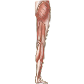 下肢全体を後面からみた浅部の筋肉のイラスト ※着色あり