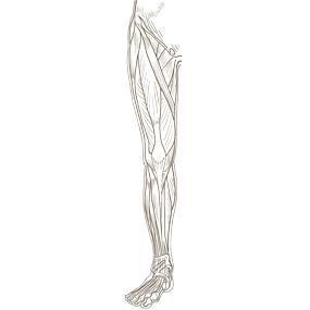 下肢全体を前面からみた浅部の筋肉のイラスト ※着色なし