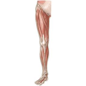 下肢全体を前面からみた浅部の筋肉のイラスト ※着色あり