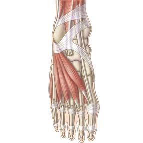 足背の筋肉のイラスト ※着色あり