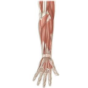 前腕を後面からみた筋肉のイラスト ※着色あり