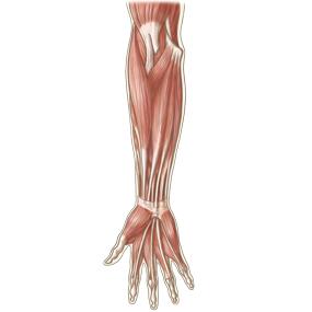 前腕を前面からみた筋肉のイラスト ※着色あり