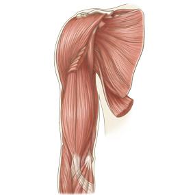 上腕を前面からみた筋肉のイラスト       ※着色あり