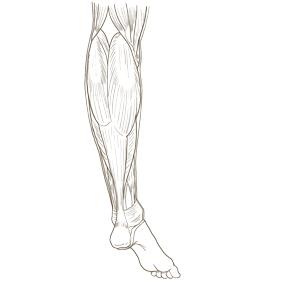 下腿を後面からみた筋肉のイラスト ※着色なし